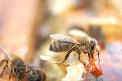 Primer de las abejas que comen la miel Imagen de archivo