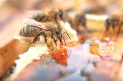Primer de las abejas que comen la miel Fotos de archivo libres de regalías