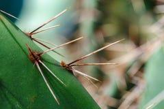 Primer de las agujas del cactus Fotos de archivo