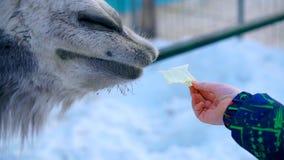 Primer de las alimentaciones de la mano del muchacho la col del camello almacen de video