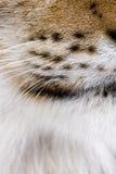 Primer de las barbas eurasiáticas del lince, lince del lince. Fotos de archivo