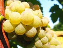 Primer de las bayas de la uva Foto de archivo libre de regalías