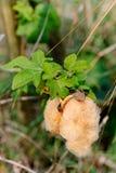 Primer de las bolas de algodón maduras marrones en la rama, Tailandia Imagenes de archivo