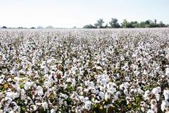 Primer de las cápsulas maduras del algodón en ramificaciones Imagen de archivo libre de regalías