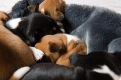 Primer de las cabezas durmientes de los perritos del basenji fotografía de archivo
