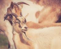 Primer de las cabras de billy que caminan en campo en mirada retra caliente Imágenes de archivo libres de regalías