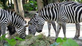 Primer de las cebras que comen la hierba en el parque zoológico metrajes