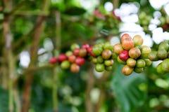 Primer de las cerezas del café en rama de árbol Fotografía de archivo