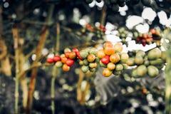 Primer de las cerezas del café en rama de árbol Fotos de archivo libres de regalías