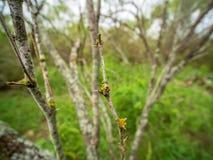Primer de las espinas dorsales del árbol del huisache en bosque del país de la colina de Tejas fotos de archivo