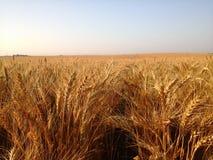 Primer de las filas del estrecho del trigo maduro de oro Foto de archivo libre de regalías