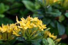Primer de las flores amarillas de la aguja Imagen de archivo libre de regalías