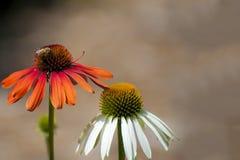 Primer de las flores anaranjadas y blancas del cono Imágenes de archivo libres de regalías