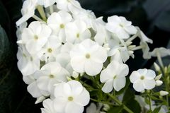 Primer de las flores blancas Fotos de archivo libres de regalías