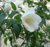Primer de las flores blancas 2 Fotografía de archivo libre de regalías