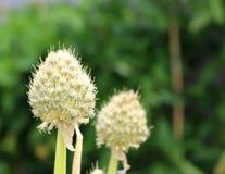 Primer de las flores blancas del fistulosum del allium Cebollas florecientes en el jardín Plantas medicinales, hierbas en Fotos de archivo