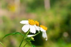Primer de las flores blancas en el jardín/la macro de la flor blanca en bosque Fotografía de archivo