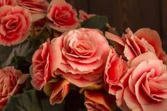 Primer de las flores de la begonia Imagen de archivo libre de regalías