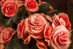 Primer de las flores de la begonia Imágenes de archivo libres de regalías