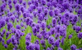 Primer de las flores de la lavanda Imagen de archivo libre de regalías