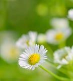 Primer de las flores de la manzanilla y del fondo de la falta de definición Imágenes de archivo libres de regalías