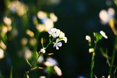 Primer de las flores de las nomeolvides Imágenes de archivo libres de regalías