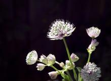 Primer de las flores del astrantia en luz del sol Foto de archivo libre de regalías