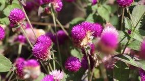 Primer de las flores del globosa del Gomphrena del amaranto de globo metrajes