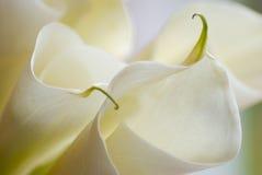 Primer de las flores del lirio de cala fotografía de archivo libre de regalías