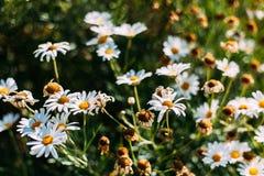 Primer de las flores hermosas de la margarita blanca Imágenes de archivo libres de regalías