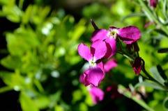 Primer de las flores de Incana del Matthiola Acción canosa púrpura, acción de Tenweeks, Violaciocca fotos de archivo libres de regalías