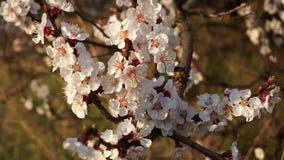 Primer de las flores de la cereza en el tiempo de la puesta del sol de la rama
