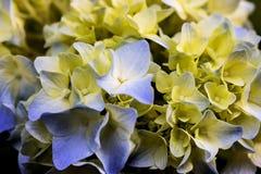 Primer de las flores de la hortensia Imagen de archivo