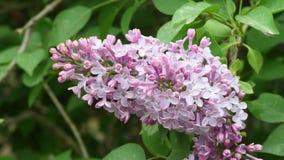Primer de las flores de la lila durante la estación de primavera almacen de metraje de vídeo