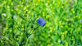 Primer de las flores lino o del usitatissimum azul de Linum con el fondo del bokeh, foco selectivo, DOF bajo fotografía de archivo