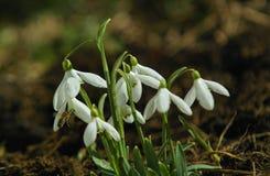 Primer de las flores de los snowdrops Fotografía de archivo