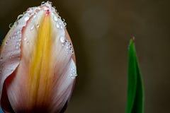 Primer de las flores de los tulipanes en fondo imagen de archivo
