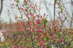 Primer de las flores rosadas del melocotón Foto de archivo libre de regalías