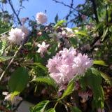 Primer de las flores rosadas de Sakura en una rama en la luz del sol contra el cielo azul Foto cuadrada fotos de archivo libres de regalías