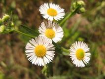 Primer de las flores salvajes de la margarita Flor romántica de la margarita blanca en el día de verano soleado fotografía de archivo libre de regalías