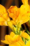 Primer de las flores y de los brotes sensuales del freesia. Fotografía de archivo