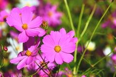 Primer de las flores y de los brotes del cosmos Fotografía de archivo libre de regalías