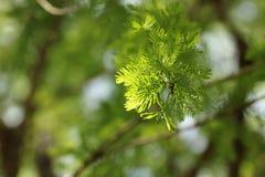 Primer de las hojas de la primavera Bald Cypress y x28; Distichum& x29 del Taxodium; Imágenes de archivo libres de regalías