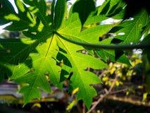 Primer de las hojas del árbol de papaya Imagenes de archivo