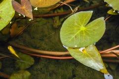 Primer de las hojas del loto Fotografía de archivo