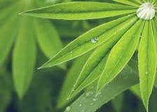 Primer de las hojas del lupine con las gotas de agua Fotografía de archivo
