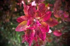 Primer de las hojas del ricinus communis, el ricino Imagen de archivo