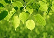 Primer de las hojas del verde que brillan intensamente en luz del sol Fotografía de archivo libre de regalías
