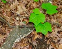 Primer de las hojas del verde y de la rama de árbol de abedul Imágenes de archivo libres de regalías