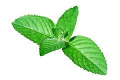 Primer de las hojas frescas de la hierbabuena Imagen de archivo